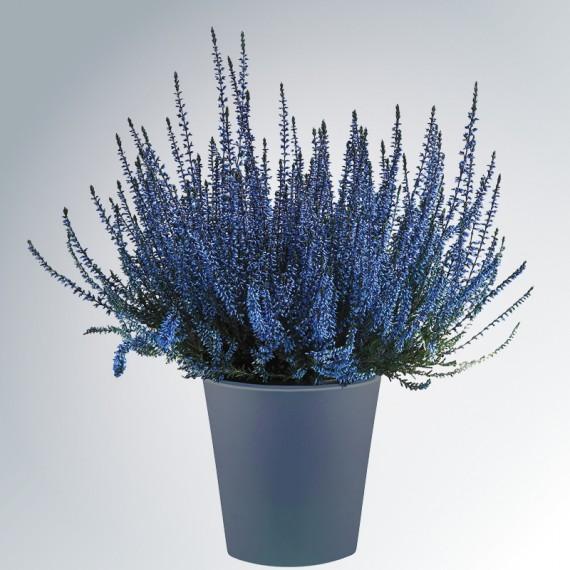 calluna-bleu