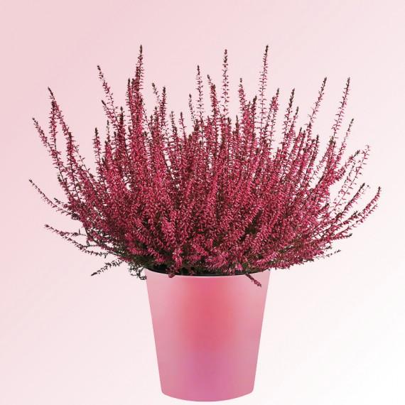 calluna-rose